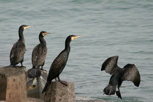 G-Cormorants