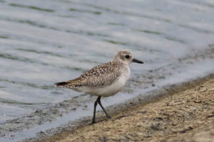 grey-plover-farmoor-17-may-08sm